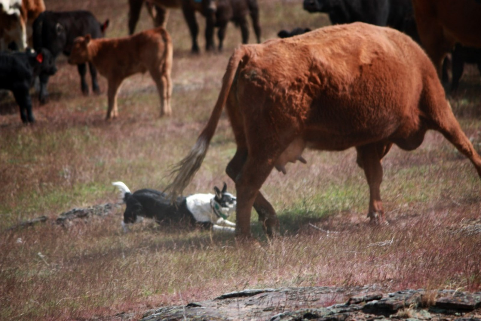 Hanging tree cow dogs for sale - Gathering Cattle