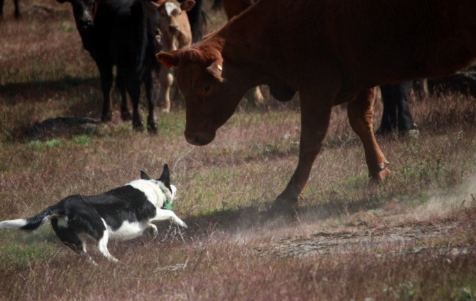 Working Cowdog
