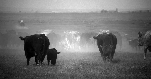 Cattle walking away