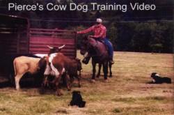 Pierce's Cow Dog Training Video