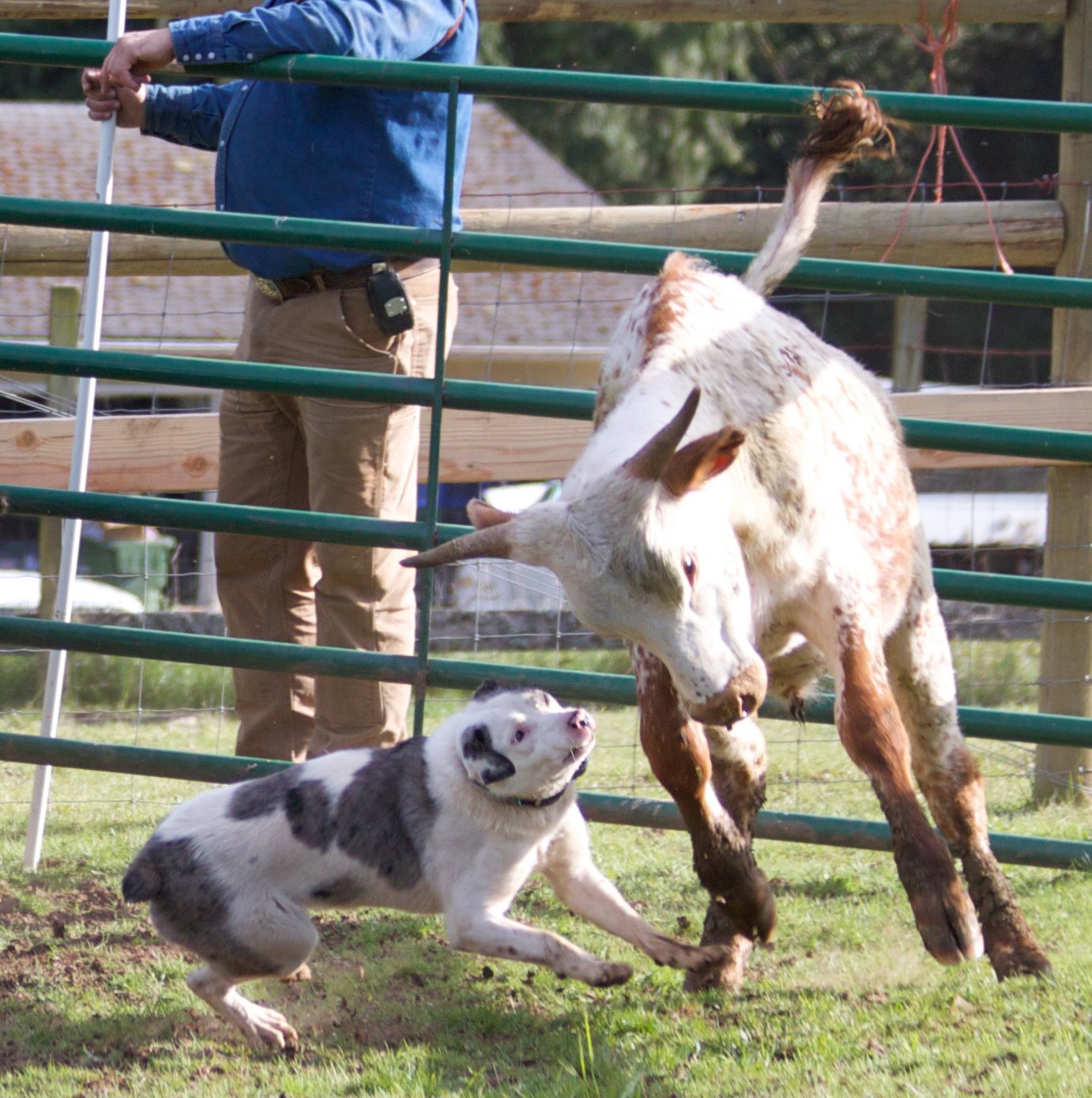 Hanging Tree Cow Dog Sales Services And Training Training Your