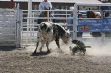 working bucking bulls