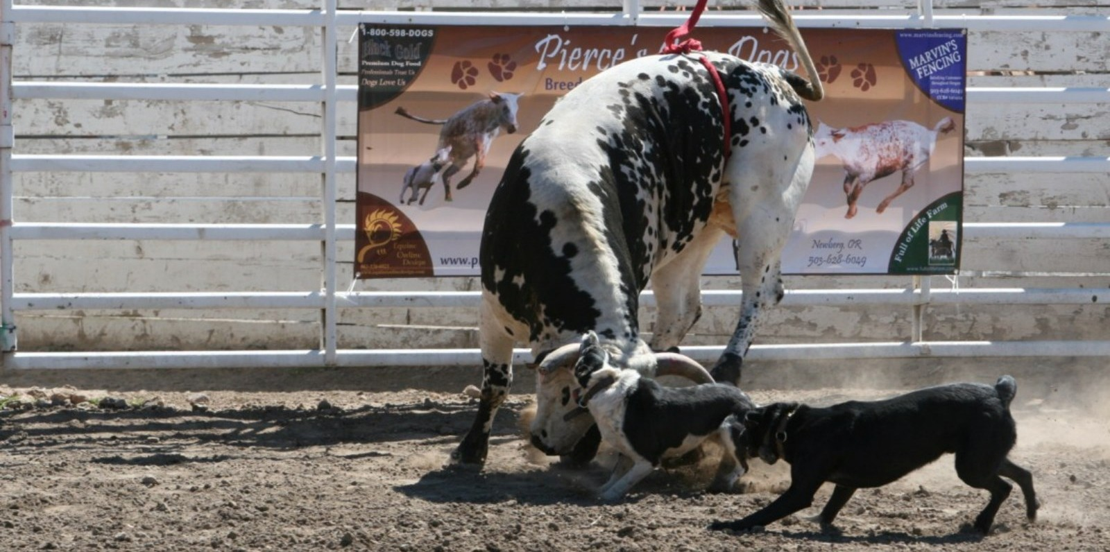 Trained Goat Herding Dogs Sale