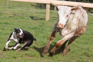 Cow Dog heading cattle