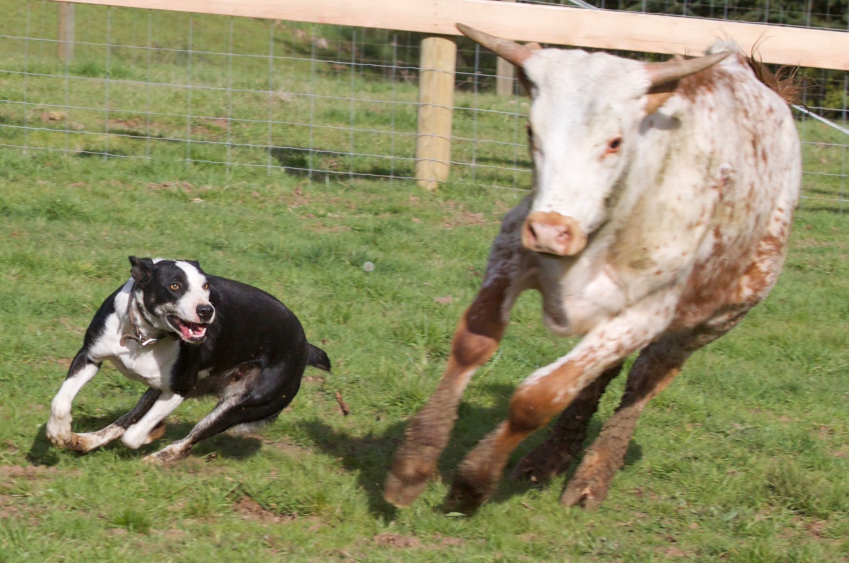 Hanging Tree Cow Dog Sales Services And Training Cattle Services