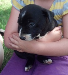 cowdog pup
