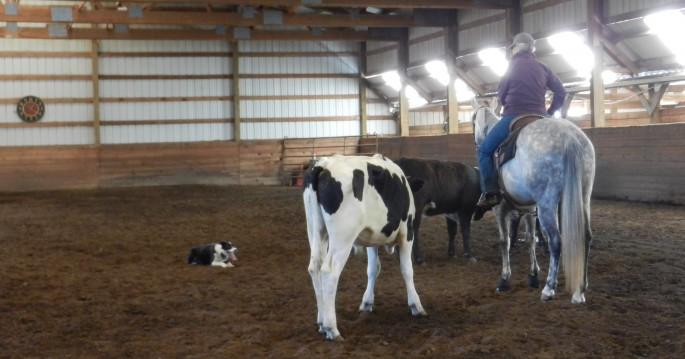 Clinic Participant working her dog on cattle at a Pierce's Cow Dog & Obedience Clinic